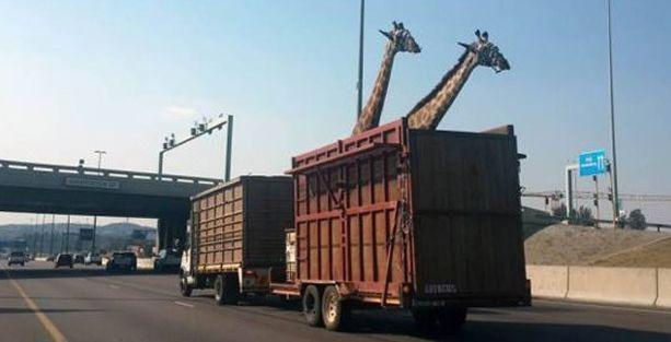Kamyonla taşınan zürafa kafasını köprüye çarptı