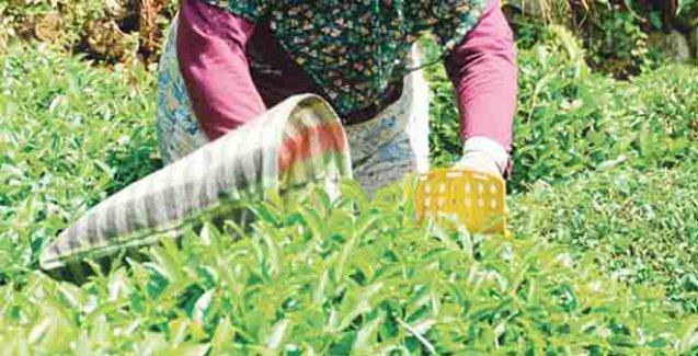 Kanserin giderek yaygınlaştığı Rize'de organik çay tarımına geçiliyor