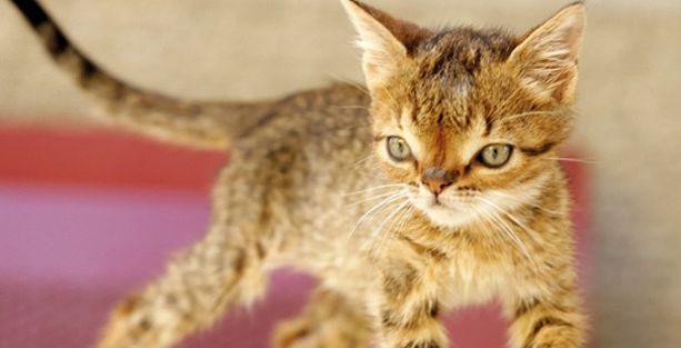 Kedi yavrusuna 'down sendromu' teşhisi