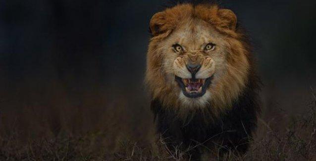 Kendisine hızla yaklaşan aslanı 3 metreden böyle fotoğrafladı