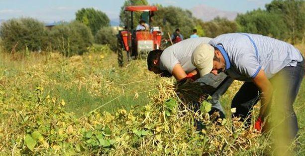 Komünist başkan fasulye hasadında
