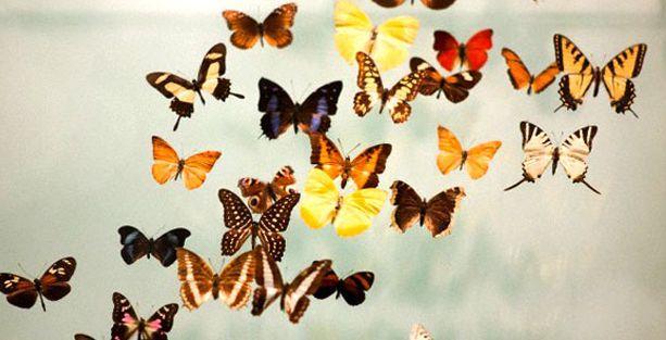Kral kelebekleri göçlerinde 'manyetik pusula kullanıyor'