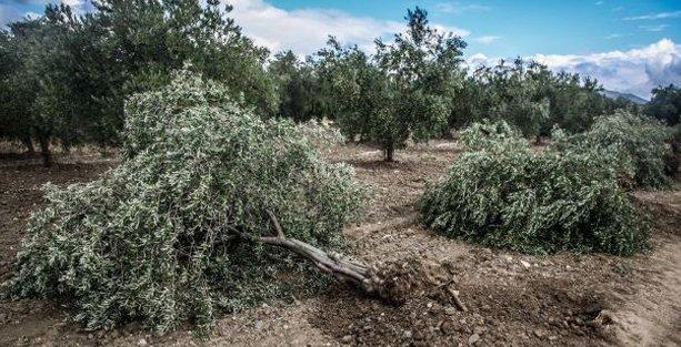 Manisa Valisi Yırca Köyü'nde ağaç katliamını Suriye ile açıkladı!
