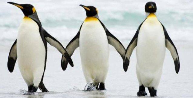 Penguenler neden böyle yürüyor?