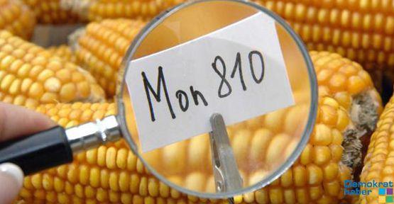 Polonya GDO devi Monsanto'yu ülkeden kovdu