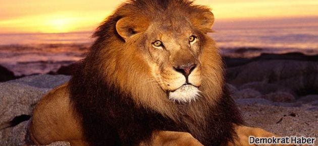 Sahte aslanın foyası, havlayınca çıktı!