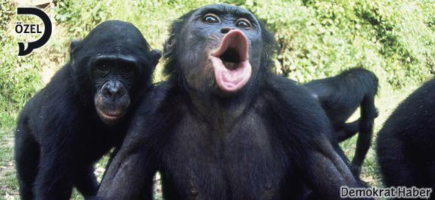 Şempanze siyasetine karşı bonobo direnişi!