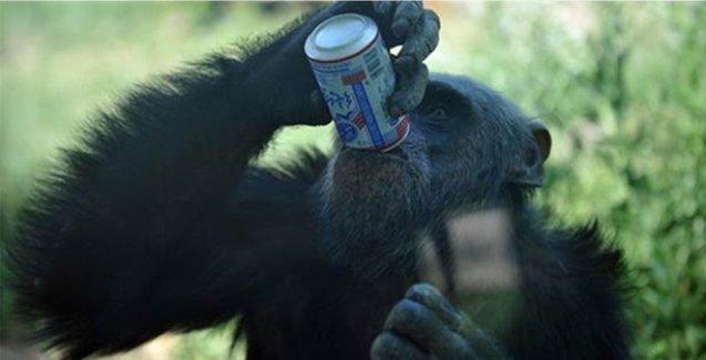 Şempanzeler alkol düşkünüymüş!