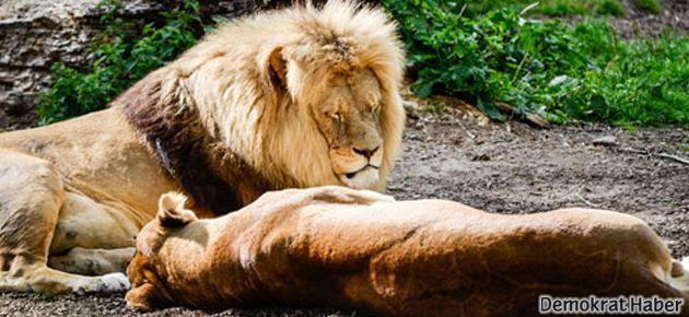 Şimdi de 4 aslan ailesi öldürüldü