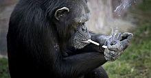 Şempanzeyi sigaraya alıştırmak hayvan istismarı mıdır?