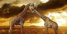Zürafalar 'sessizce yok oluyor'