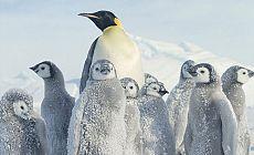 En yaşlı fosilleşmiş dev penguen keşfedildi