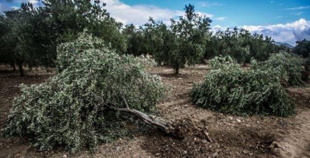 Yırca'da ağaç katliamı yapan Kolin,  termik santral için yeni yer arıyor