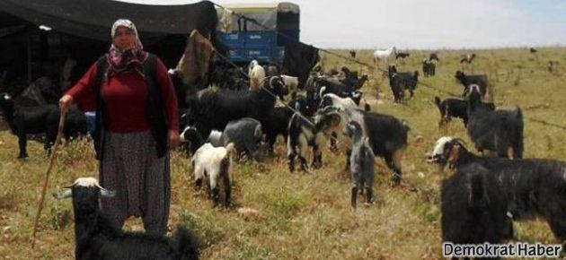 Yörükler ilaç bağımlısı keçi istemiyor!